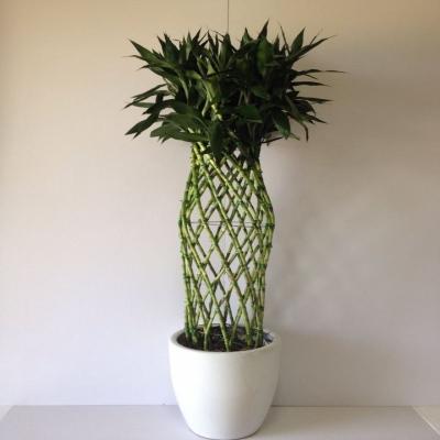 供应富贵竹
