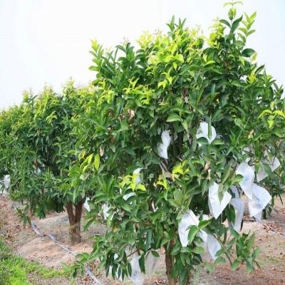 供应莲雾果树